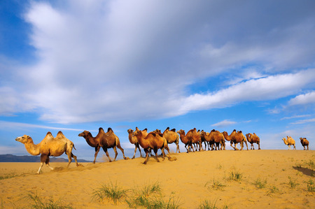 Herd of Bactrian camels  Camelus bactrianus  in the in the Gobi desert of Mongolia  Khovd province, Mongolia