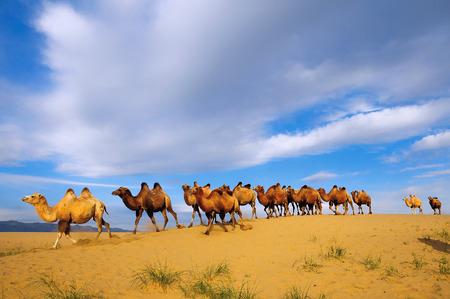 camello: Manada de camellos bactrianos Camelus bactrianus en el en el desierto de Gobi, en la provincia de Mongolia Hovd, Mongolia