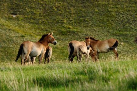 mongolia horse: Przewalski Horses  Equus ferus przewalskii  at the meadow in autumn  Hustai National Park, Mongolia