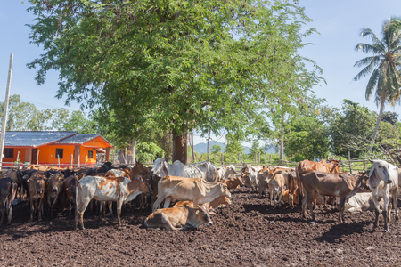thai culture: Thai cows resting in a field under tree at southern ,Thailand.