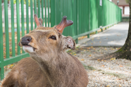 A young red deer stag in Nara, Japan