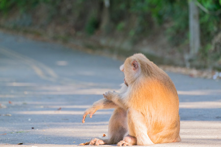 Macaque monkey sitting on the road in Khao Rang hill, Phuket, Thailand Stock Photo