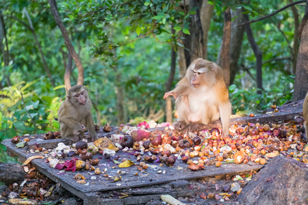 Macaque monkey eating mangosteen on the road in Khao Rang hill, Phuket, Thailand