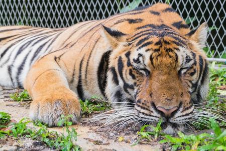 Portrait of a tiger (Panthera tigris) sleeping Stock Photo