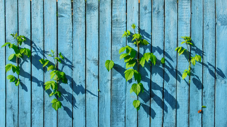 slits: Old wood wall colored blue with green leaves of raspberries are growing through the slits and butterfly on the wall