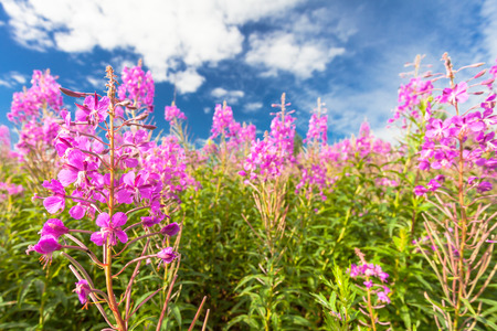 fireweed: Pink fireweed (blooming sally) flowers in field and deep blue sky with white clouds
