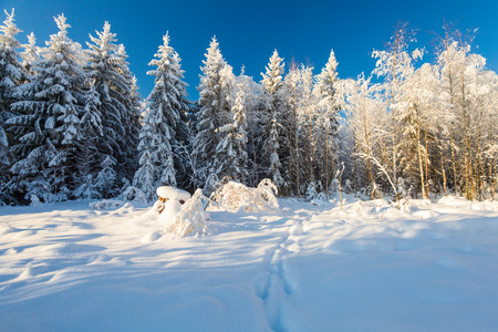 Winter forest and footsteps on the deep snow on frosty sunny day Stock Photo