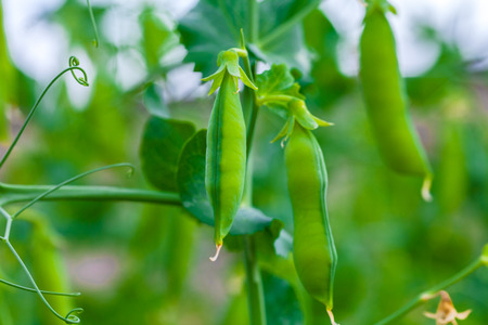 Selective focus on fresh bright green pea pods on a pea plants in a garden. Growing peas outdoors and blurred background. 免版税图像 - 92127556
