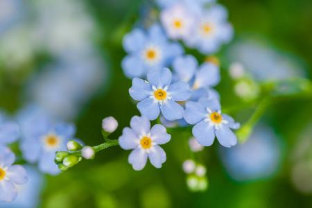Macro de petites fleurs bleues myosotis et fond d'herbe colorée dans la nature. Fermer.