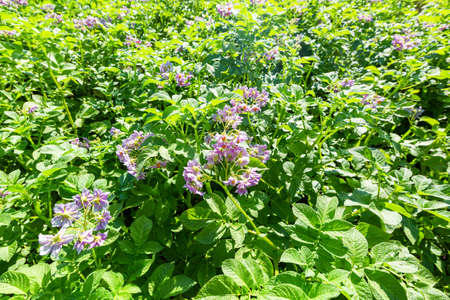Flowering potato. Potato flowers blossom in sunlight grow in plant. White blooming potato flower on farm field. Close up organic vegetable flowers blossom growth in garden 스톡 콘텐츠