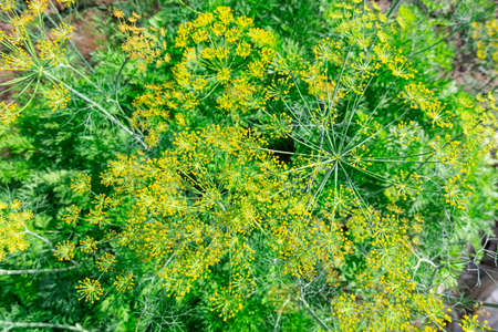 Background with dill umbrellas or ripening fennel seeds. Close up view of fresh dill garden umbrellas. Stok Fotoğraf