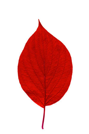 Red leaf with texture isolated on white