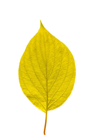 Yellow leaf with texture isolated on white
