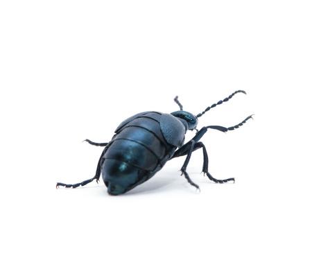 Beetle violet black on white background photo