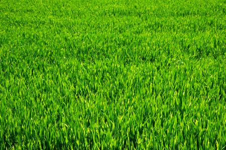 grassy plot: C�sped verde para el fondo Foto de archivo