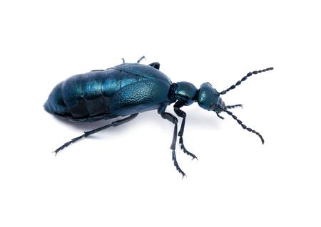 Beetle violet black on white  photo
