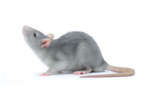 mouse animal: rat isolated on the white background Stock Photo