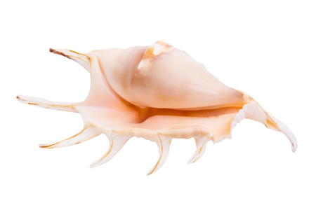 echinoderm: Shell isolated on white