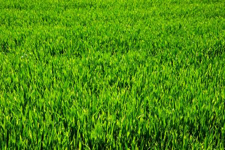 grassy plot: C?sped verde para el fondo