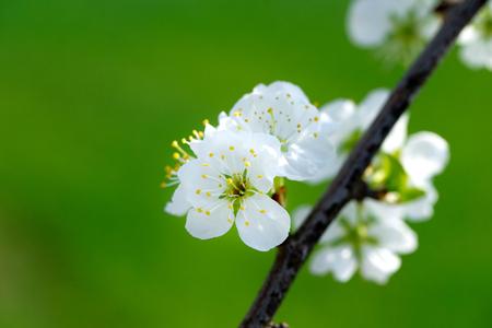 Fruit tree blossom close-up photo