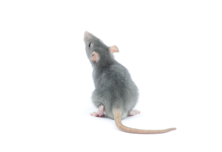 Ratte isoliert auf den weißen Hintergrund Standard-Bild - 35922560