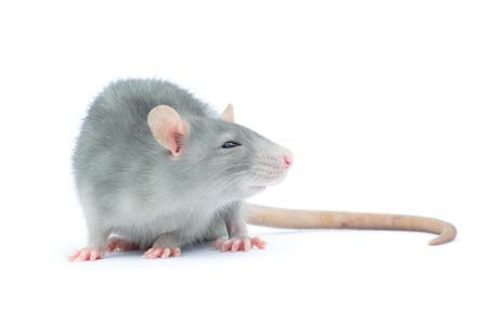 rata: rata aislado en el fondo blanco