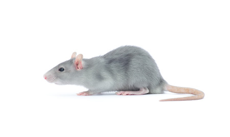 rat isolated on the white background Stok Fotoğraf