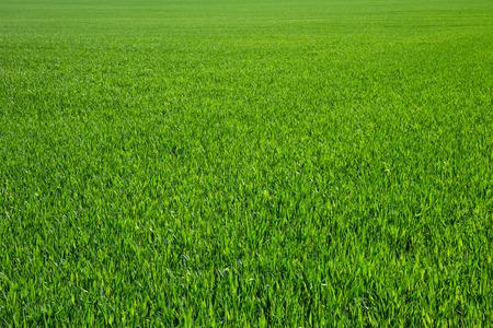 Achtergrond van een groen gras Stockfoto