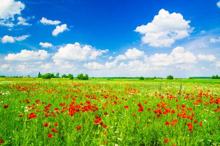 garden flower: Vivid poppy field Stock Photo