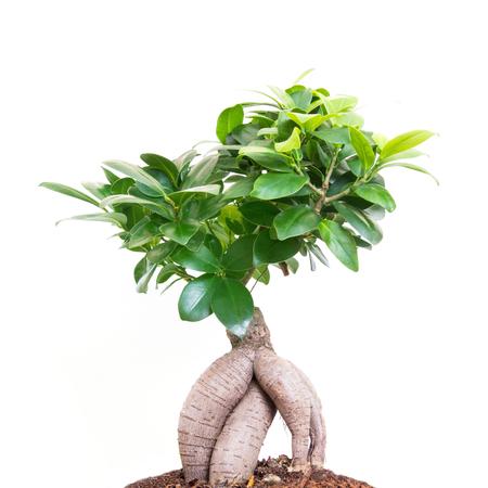 arbol roble: Verde de árboles aislados en blanco