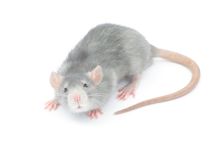 rat isolated on the white background Foto de archivo