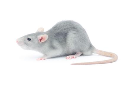 rat isolated on the white background Zdjęcie Seryjne