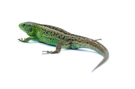 reptilian: Lizard on white background