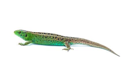 lagartija: Lagarto en el fondo blanco