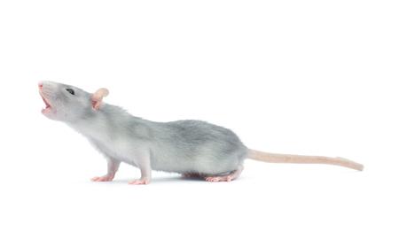 rat isolated on the white background Stock Photo