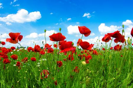 Meadow avec coquelicots et le ciel bleu