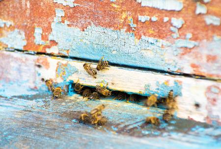 abeja reina: Las abejas y la abeja reina en el peine