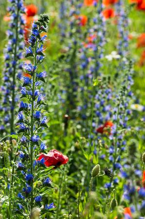 field of corn poppy flowers: Field of bright red corn poppy flowers in summer