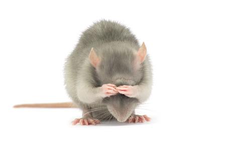 흰색 배경에 고립 된 쥐 스톡 콘텐츠