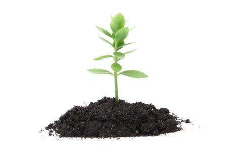 Pflanze Baum wächst Sämling im Boden isoliert auf weißem Hintergrund Standard-Bild - 52963116