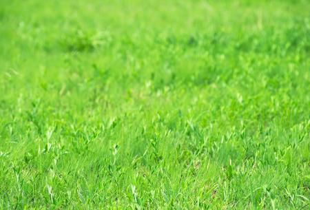 green grass: Green grass texture from a field