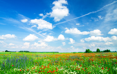 meadow with wild poppies and blue sky Imagens