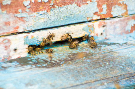 abeja reina: The bees and the queen bee on the comb