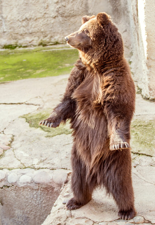 Grown-up brown bear standing on hind legs