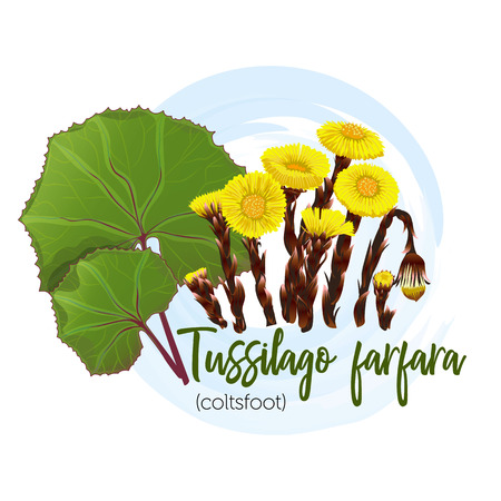 Medicinal plant coltsfoot for labels, banners, posters and other. You can also use in the design of pharmacies or other interiors.