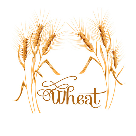 Realistic ear of wheat on white background. Vector set. Illustration