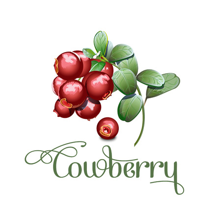 Set of wild northern berries, cowberry vector illustration. Çizim
