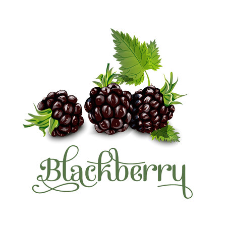 Blackberries. Vector illustration. for lables posters and others Vettoriali