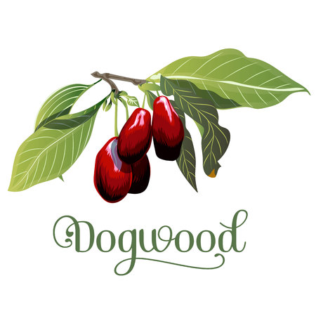 dogwood, leaves and berries isolated on white background. Vector illustration.