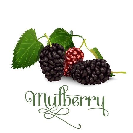 Mulberry vector illustration for lables posters and others Vectores